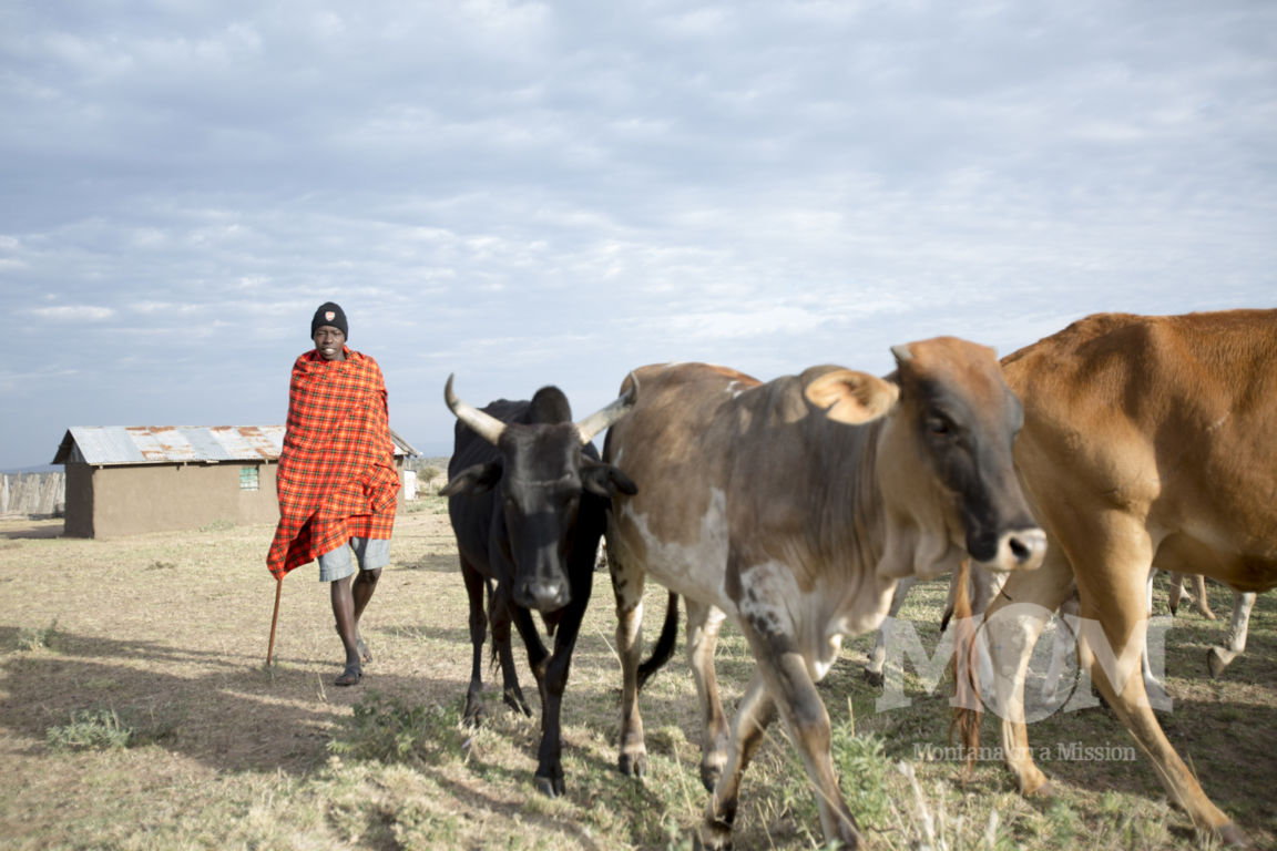 Kelvin's cousin, William, heads out to the bush for the day with a herd of cattle.