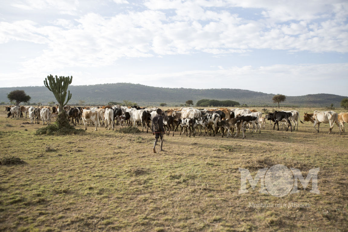 The cattle leave to graze in the bush for the day.