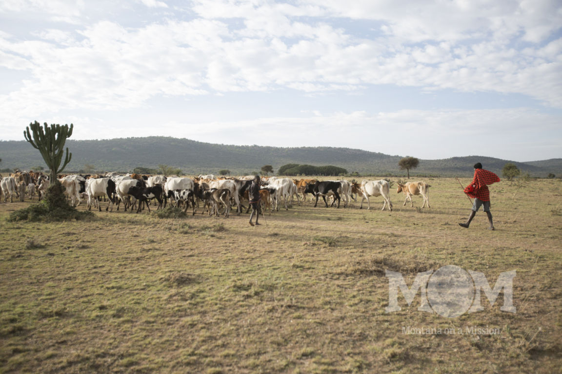 Very early each morning the boys take the cattle out into the bush in search of grass and water.