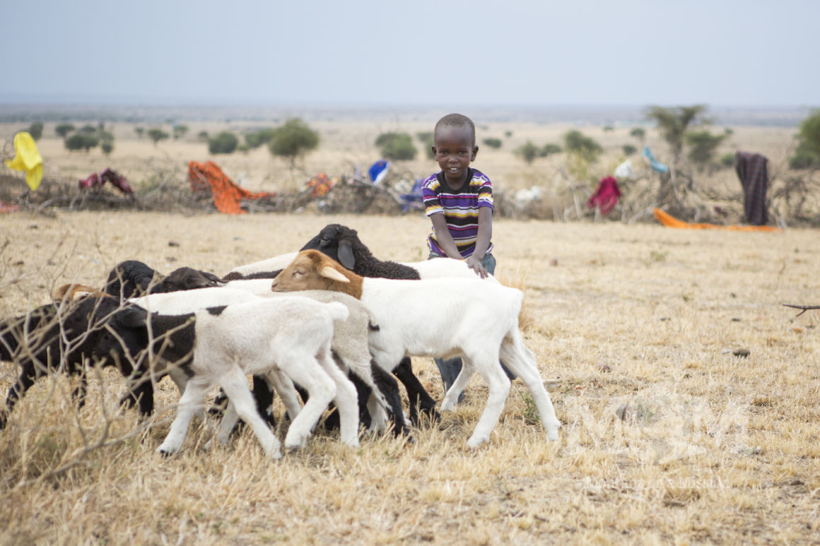 A young boy helps to herd the lambs into his manyatta.