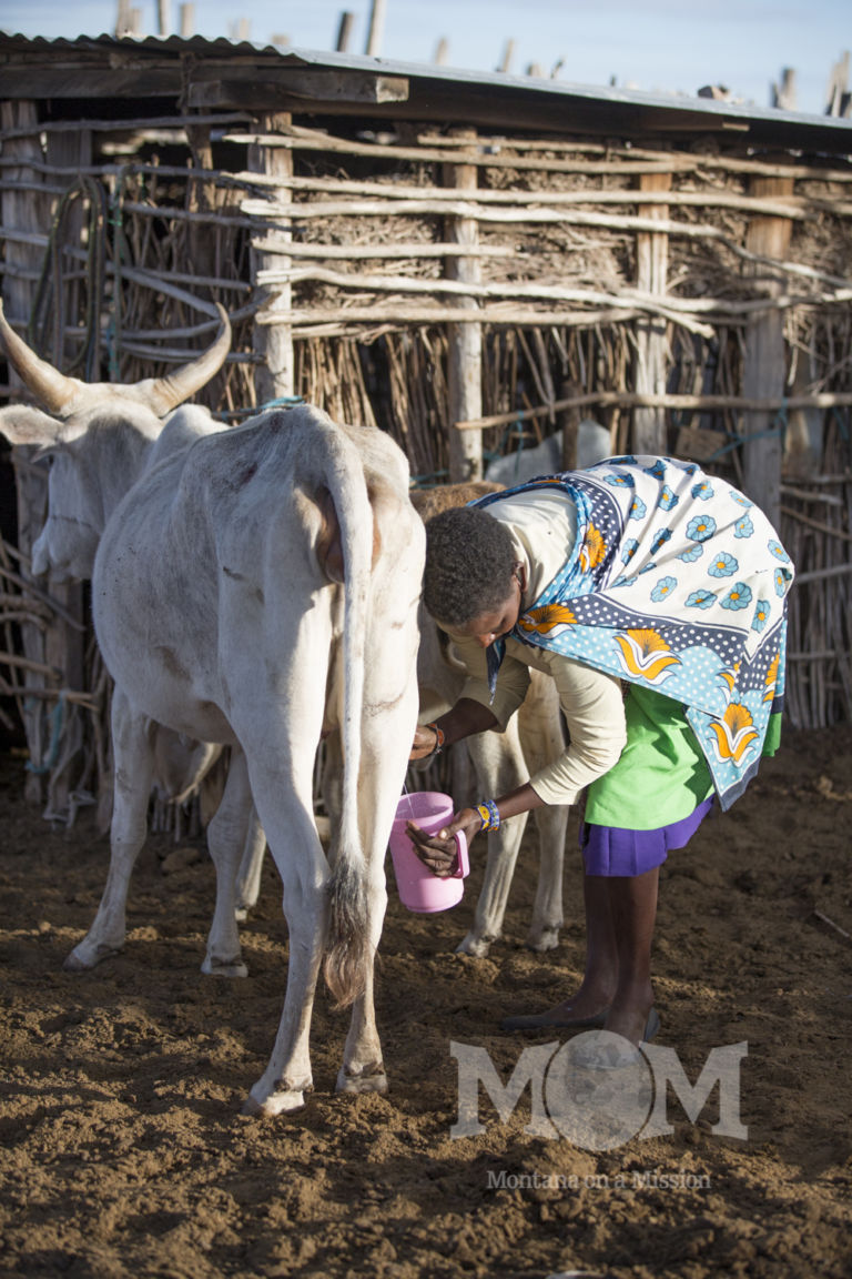 Noomali milks a cow first thing in the morning.
