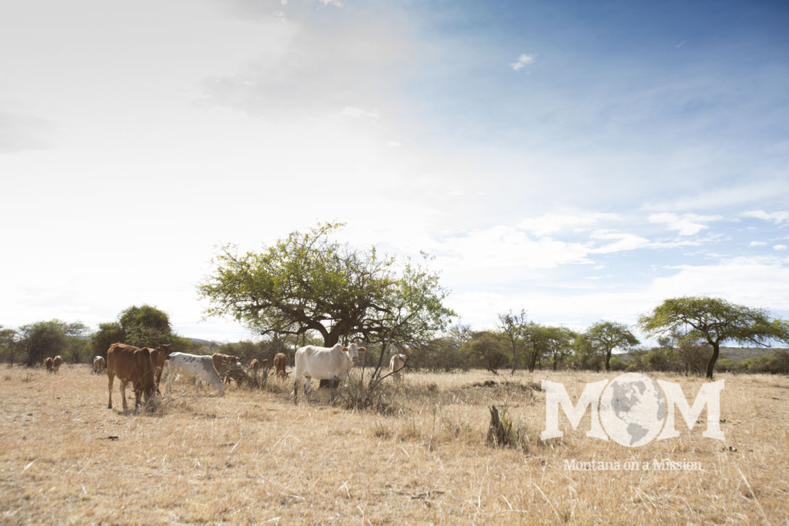 Maasai families typically are stockman. Struggling to raise cattle, goats and sheep to provide for their families with very few water resources.